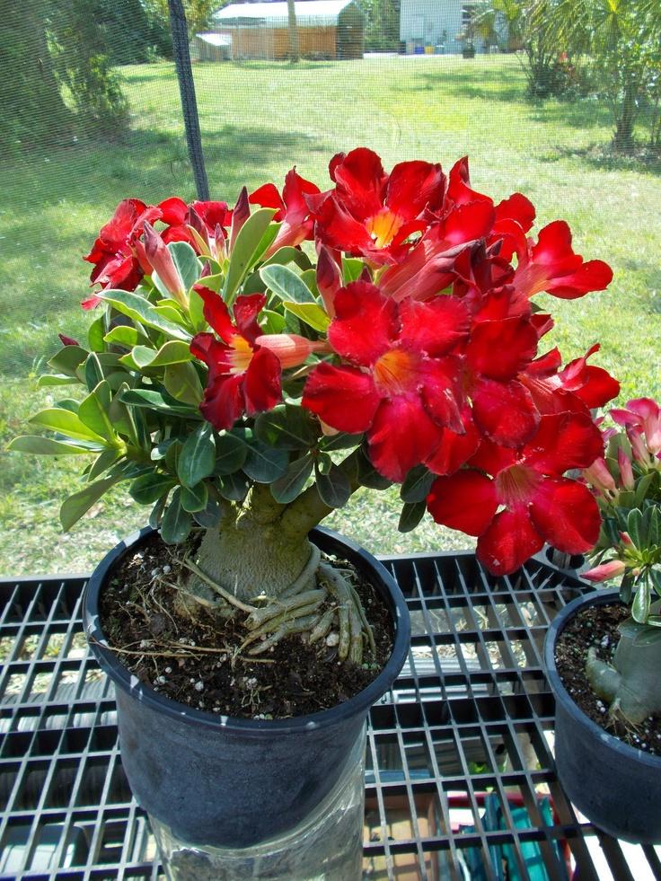 Desert Rose Adenium (Home Run Red)