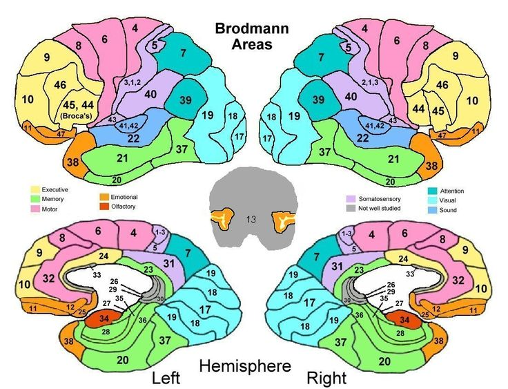Brodmann Area Functions - Great Reference for functions of the cortex! Get at me Neuroscience!