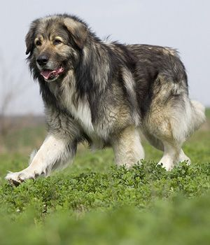 The Carpathian Shepherd Dog is a breed of large sheep dogs that originated in the Carpathian Mountains of Romania.