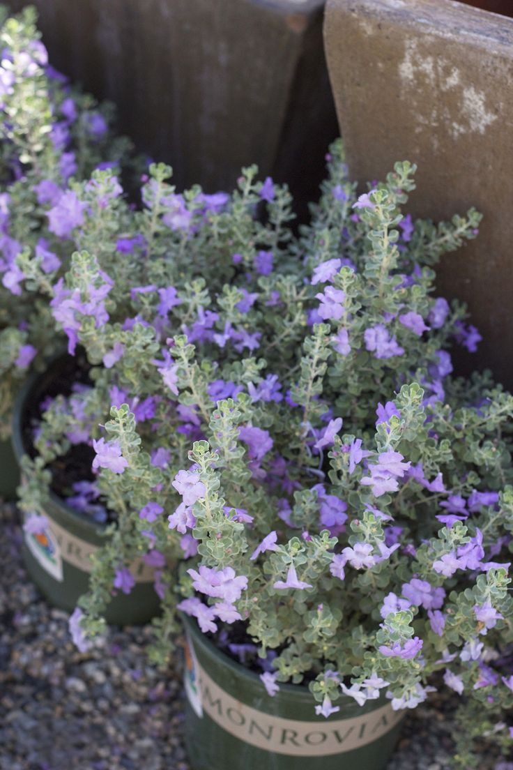 "Leucophyllum ""Texas Ranger"" is a soft, hearty, drought tolerant, blue bloomer ready to fill your garden with texture and blooms.  http://rogersgardens.com/outdoor-gardens-garden-rooms/"