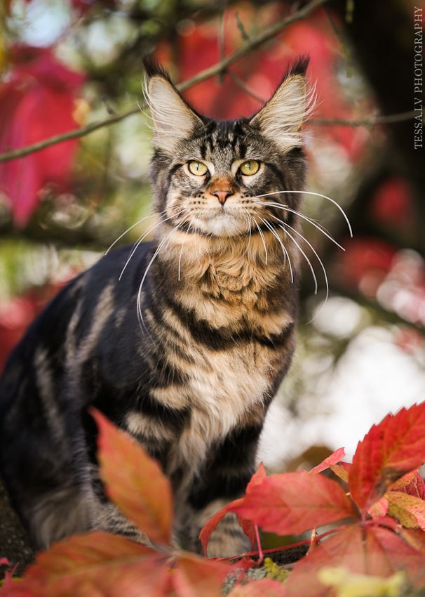 Maine Coon, black tabby blotched (n 22)