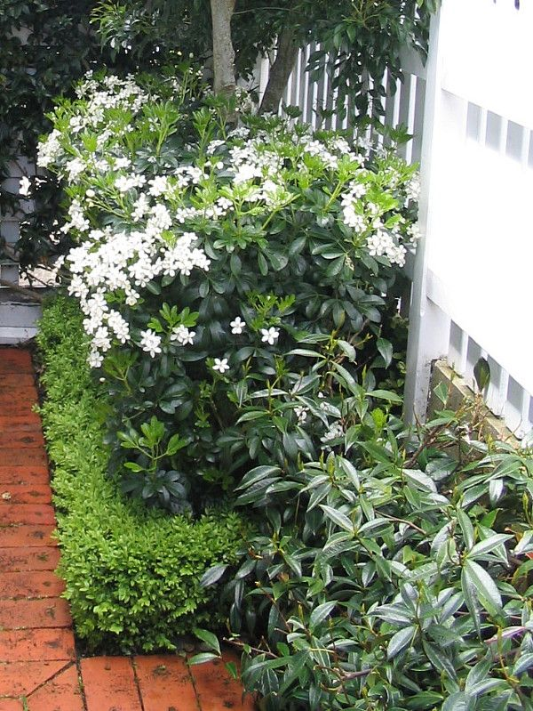 Layered hedges - Mexican Orange Blossom in flower, Choisya ternata; Buxus hedge; and Chinese Star Jasmines as a soft mounding groundcover hedge. Designed by HEDGE Garden Design & Nursery.
