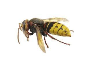 Here in Georgia, many homeowners will call us and report having spotted what look like enormous bees. While they can sometimes be mistakenly identified as Asian Giant Hornets, the creatures in question are typically European Hornets.   I have spoken before more generally about European Hornet biology. However, I would like to focus on their …