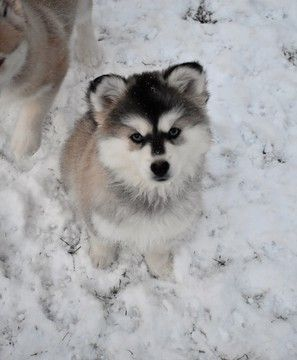 Litter of 6 Pomsky Shepherd Maltese  mix Mix puppies for sale in MINOOKA, IL. ADN-23930 on PuppyFinder.com Gender: Female. Age: 11 Weeks Old