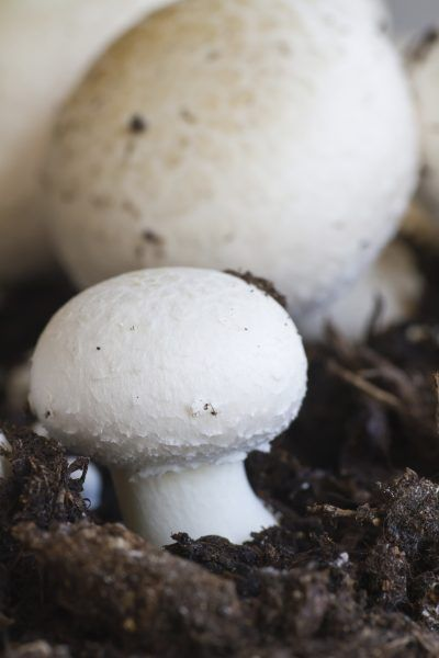 Care Of Button Mushrooms: Learn About Growing White Button Mushrooms - Growing…