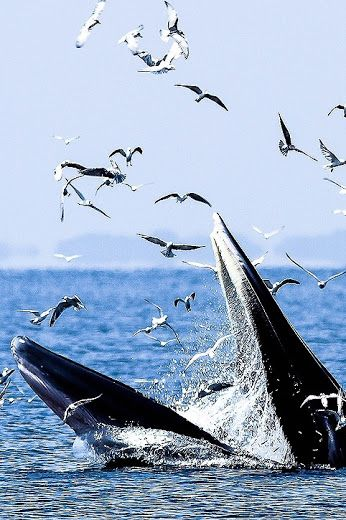 43 best sea life whales brydes images on pinterest baleen whale fandeluxe Gallery