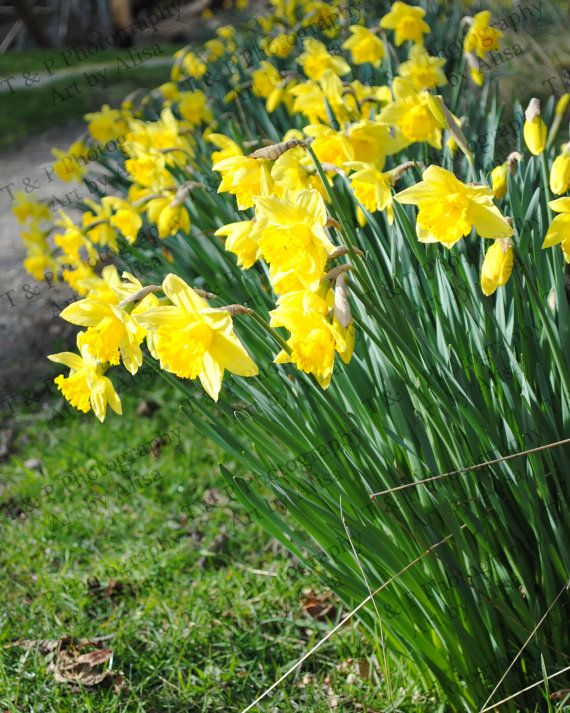 DIGITAL download photo DAFFODIL FLOWERS by Turtlesandpeace on Etsy