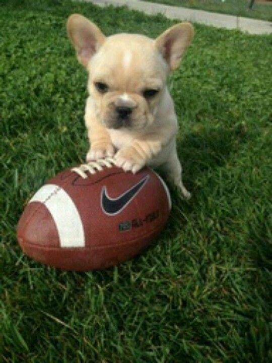 Miniature French Bulldog <3 I Love It!!
