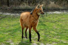 Animais em Extinção no Brasil - LOBO GUARÁ Encontrado no Cerrado, no Pantanal e nos Pampas, esse animal é considerado o maior mamífero canídeo nativo da América do Sul. A espécie enfrenta grandes problemas devido ao desmatamento de seu habitat. (Espécie vulnerável)