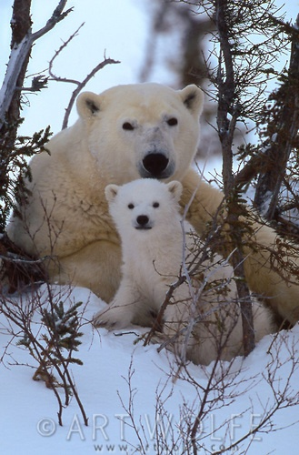 Polar bear and cub, Churchill, Mantiboa, Canada