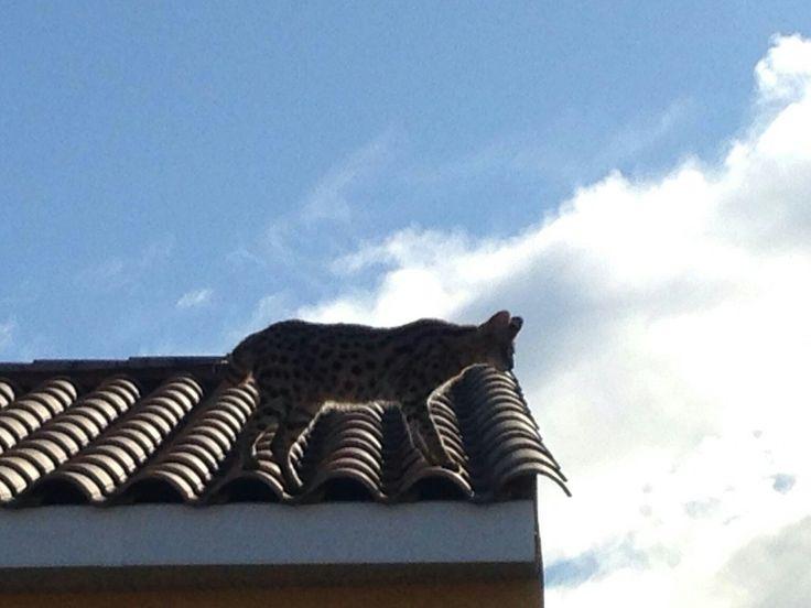 #Insolite Les 👮♂️de #saintgeorgesdorques inter à #Juvignac suite 📱d'1👧 qui dit qu1 léopard mange ses poules. 👨🚒 le neutralisent,  il s agissait d1 🐱 #Savannah.