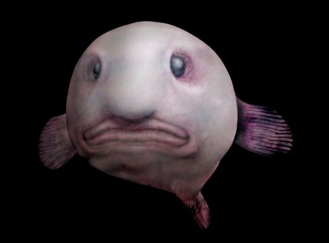 The blobfish (Psychrolutes marcidus) is a deep sea fish of the family Psychrolutidae. Inhabiting the deep waters off the coasts of mainland Australia and Tasmania,[1] it is rarely seen by humans.