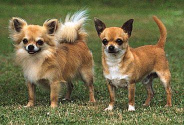 http://cdn2.allsmalldogbreeds.com/allsmalldogbreeds-cdn/photos/plog-content/images/breed/chihuahua-long-coat/12401800068170-004-b976b858.jpg Are you a short hair dog person or a long hair dog person