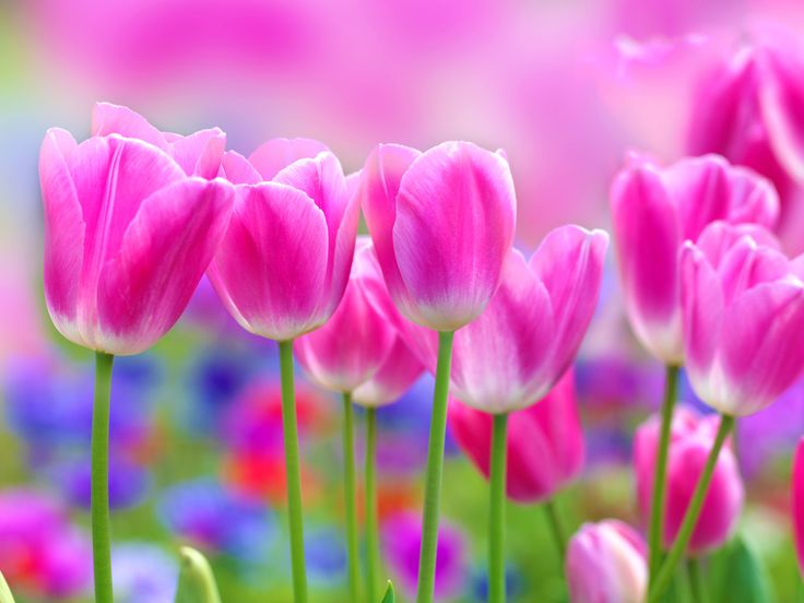 Flower-beds in field with a mix of colorful tulips under bright ...