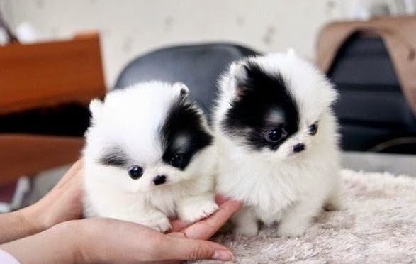 Pomsky Puppies For Sale Near Me Pomsky Puppyfinder Com Pomsky
