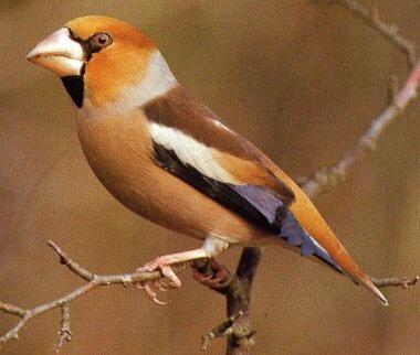 Appelvink. Deze prachtige vogel is gespot in onze tuin (14-12-2013).