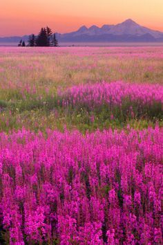 Alaskan Fire-weed is one of my favorite flowers and I don't see it much in the lower 48.