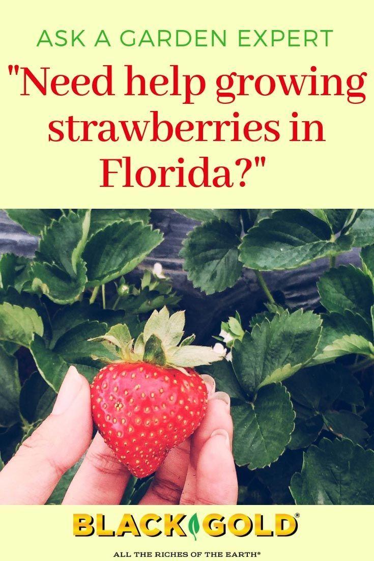Pin On Growing Strawberries