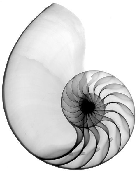 X-ray Nautilus shell by Bert Myers.    Via LUSHLIGHT. (iainclaridge.net)