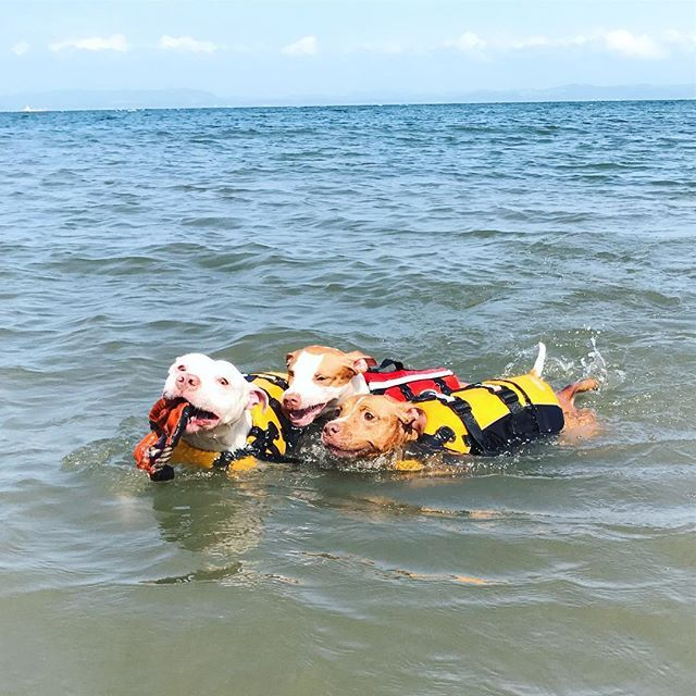 🌊💙 #pit#pitbull#pitbulls#dog#doggy#goodday#goodtimes#love#lovedog#doglife#today#seaside#ピットブル#アメリカンピットブルテリア#ワンコ#家族#愛犬#海#週3#多頭飼い#散歩