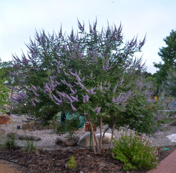Texas Lilac Vitex Tree June Bloomer With Purple Flower