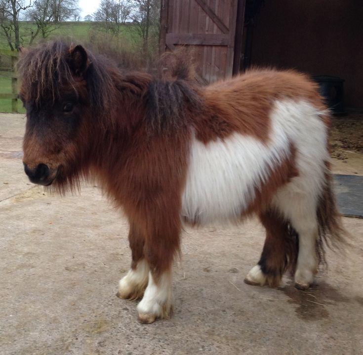 Miniature Shetland Pony For Sale | Shetland Pony Classifieds ...