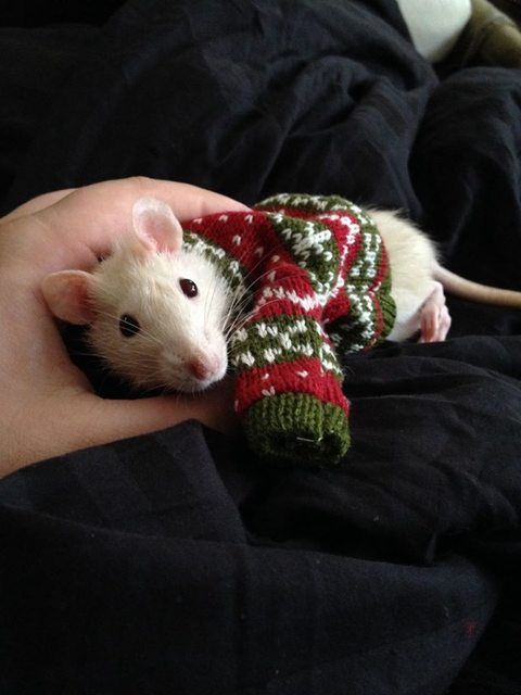 RAT IN A SWEATER HAPPY CHRISTMAS - Imgur