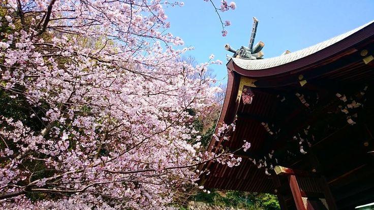 おはようございます 出張中の粟村です  #鞆の浦桜シリーズ 枚目 沼名前神社(ぬなくまじんじゃ)本殿横の桜です  鞆は桜がたくさん植えられてる公園等は無いんですがお寺や神社敷地内の桜が日本ってイイなぁと思わせてくれます  というコトで#鞆の浦桜シリーズ にもう少しお付き合いくださいね(_;) あ安国寺釈迦堂のライトアップも見頃のようです急いでー #鞆の浦 #鞆 #沼名前神社 #神社 #桜 #sakura #tomonoura #tomo #fukuyama #japan #cherryblossom by amochinmi_awamura