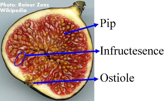 Fig Ficus carica fruit anatomy