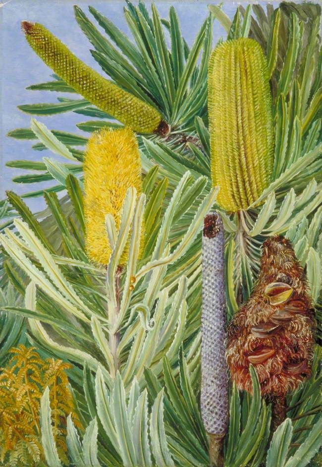 A West Australian Banksia by Marianne North, early1880s