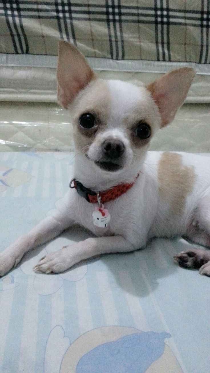 best Chihuahuas images on Pinterest Little dogs Adorable