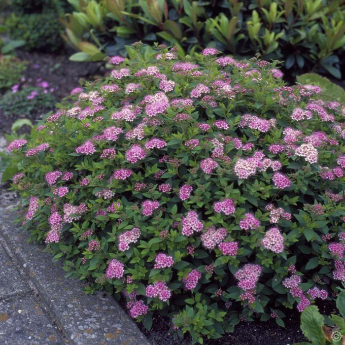 Little Princess Spirea | Spiraea japonica Little Princess - 1 shrub Buy online order yours now