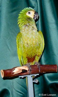 Red-Bellied Macaw (Orthopsittaca Manilata)