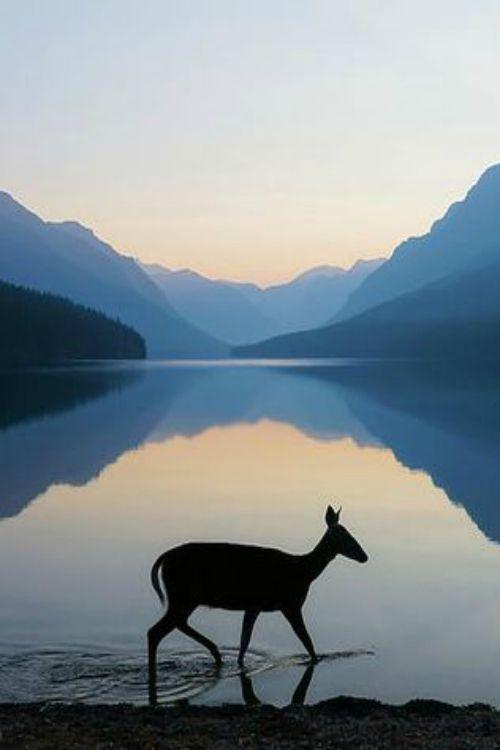 Doe at sunrise - Bowman Lake, Glacier National Park, Montana | Photo by Kevin Lefevre