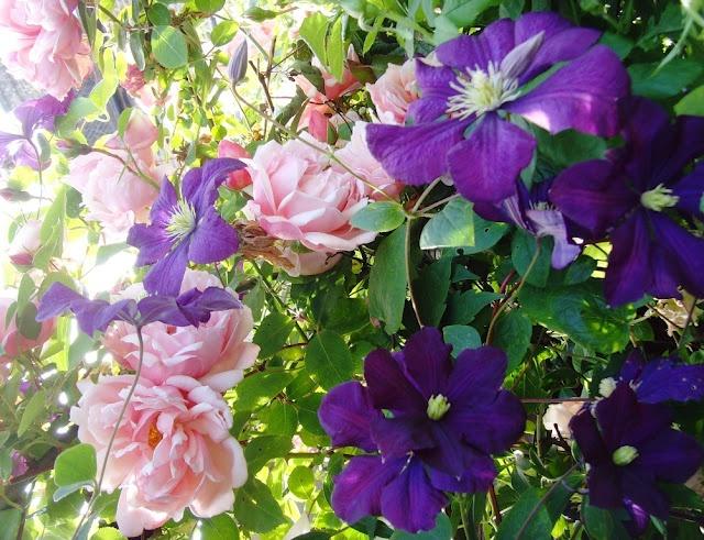 122 best images about roses clematis on pinterest. Black Bedroom Furniture Sets. Home Design Ideas