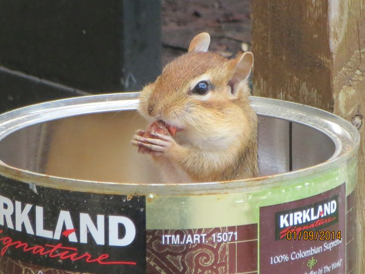 Another frequent visitor is our chipmunks.  Eating nuts but a good commercial for Costco Kirkland Columbian Coffee.  I won't charge much for the photo.  Lol