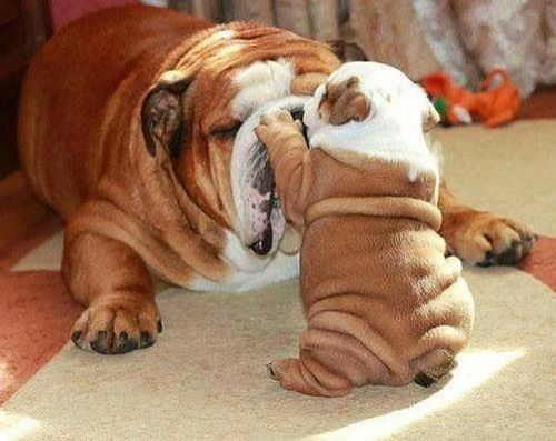 Bulldog puppy with Mom  -- those wrinkles!