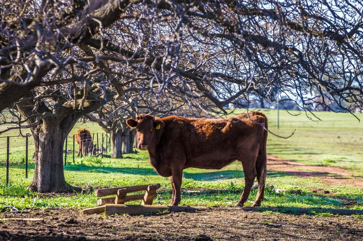 A beautiful cow under the shade of a tree