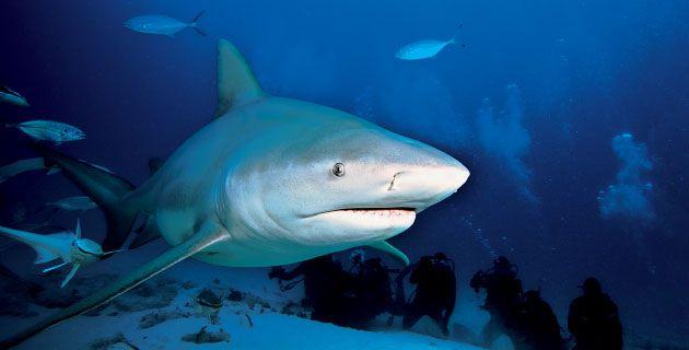 Buceo extremo con el tiburón Toro en Quintana Roo   México Desconocido