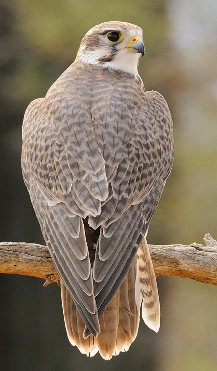 The Prairie Falcon (Falco mexicanus) is a medium-sized falcon of western North America. It breeds from southern Manitoba, Saskatchewan, Alberta and south-central British Columbia south through the western United States–roughly between the eastern edge of the Mountain Time Zone and the Cascade Mountains, as well as the Central Valley of California–to the Mexican states of Baja California, Durango, and northern San Luis Potosí.