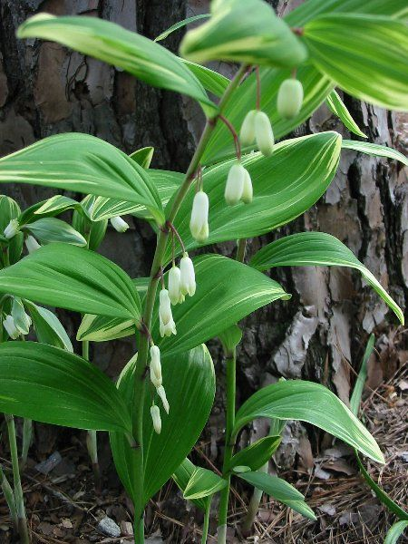 Polygonatum commutatum. Solomon's Seal.   Great shade loving plant. These do well in our garden and are great multipliers.