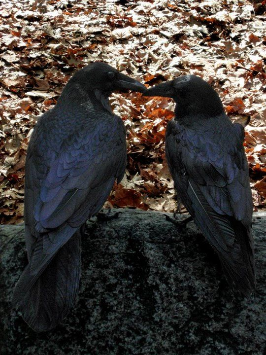 "Ravens mate for life and besides grooming each other will give each other gifts including flowers and hold ""hands""."
