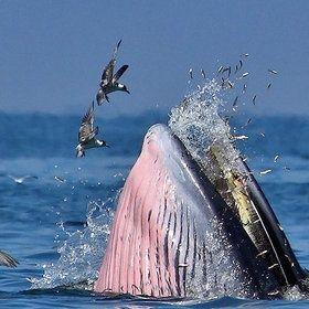 ballena jorobada (Humpback whale)