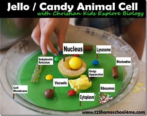 Edible Jello Animal Cell - FUN hands on #homeschool #science lesson for #biology. Lots of other fun Science ideas!