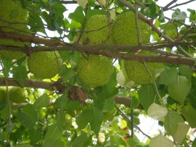 Maclura pomifera (Maklora - Yalancı Portakal ağacı) - agaclar.net