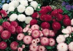 English Daisy Seeds for sale - Habanera Mix - Bellis perennis - Perennnial Flower Seeds