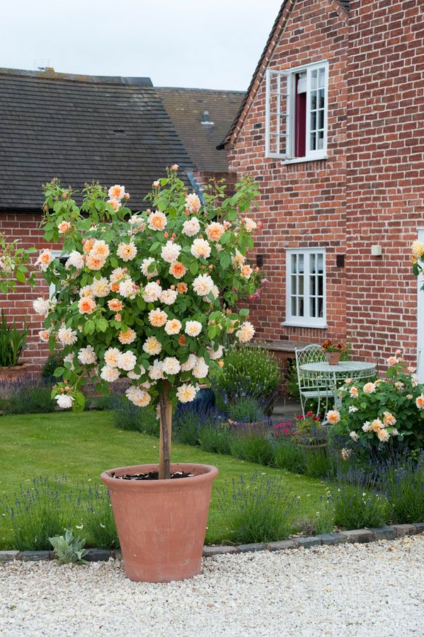 Standard Roses - Gallery. Standard Roses are created by budding three shrubs on a stem; hence their dramatic effect. Firm support in the form of a stout stake, immediately after planting, is essential.