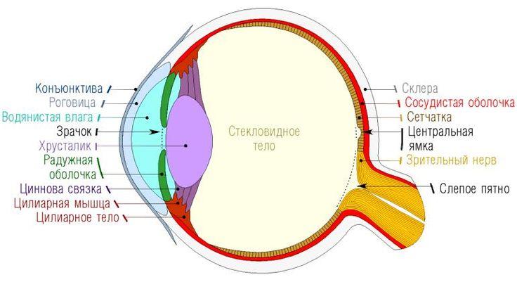 Способности глаз человека: как человеческий глаз меняет фокус?