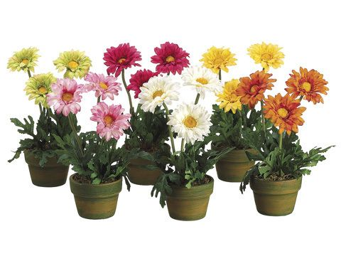Image result for potted gerbera daisies plant pic