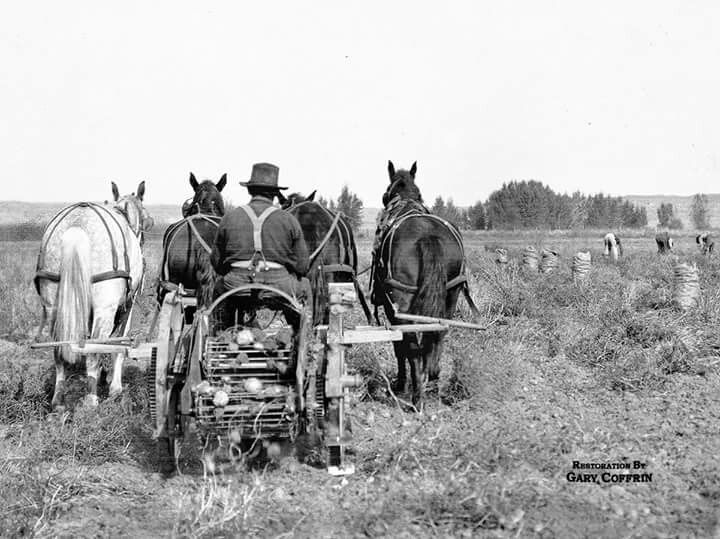 This is a POTATO DIGGER…perhaps the first horse-drawn digger in Custer County, Montana. L.A. Huffman took this photo in the 1910s. A wide plow blade in front lifted sod and potatoes onto the rotating metal grid. Much of the dirt fell through the spaces between metal rods and potatoes were dropped off the end of the rotating grid. Three pickers and several full potato sacks are at the right. Huffman's made his living in later years by selling his early photos captured on glass plate…